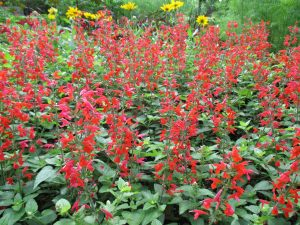 AAS Winner Salvia Summer Jewel Red is loved by gardeners and hummingbirds! - All-America Selections