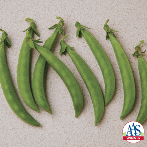 Pea Snak Hero - AAS Edible-Vegetable Winner - Stringless, edible pods are perfect for healthy, garden fresh snacking, stir-frying, or freezing for later