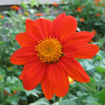 Tithonia Torch is an excellent AAS Winner for pollinators! - All-America Selections