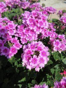 AAS Winner Verbena EnduraScape Pink Bicolor is a beautiful flowering annual that pollinators love - All-America Selections