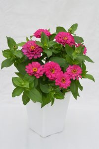 Zinnia Holi Pink - All-America Selections Flower Winner - bred to keep producing fresh, colorful blooms all season long, even through heat, humidity, and drought.