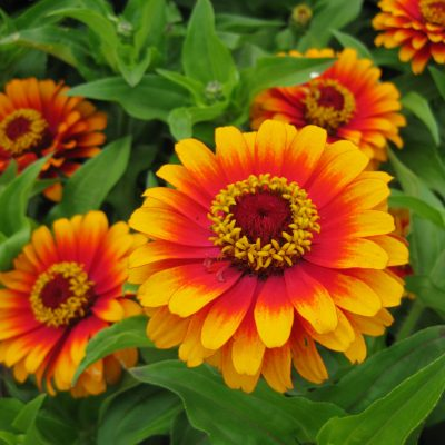 AAS Winner Zinnia Zowie Yellow Flame is a great for pollinators - All-America Selections