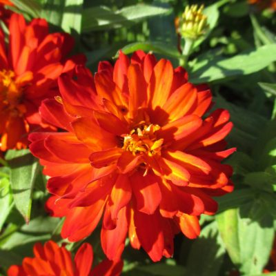 Zinnia Zahara Double Fire is an AA Winner great for Pollinators - All-America Selections