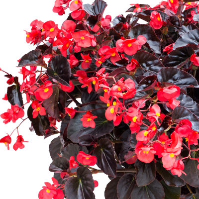 Begonia Viking XL Red on Chocolate - Great for Hanging Baskets - an AAS Winner