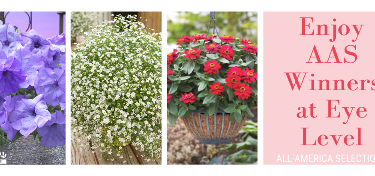 6 tips for creating a successful hanging basket with AAS Winners - All-America Selections