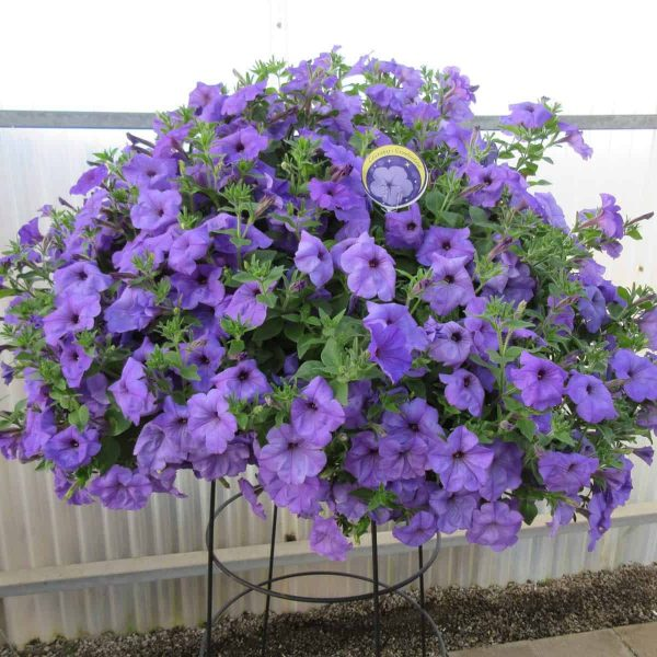 Petunia Evening Scentsation - AAS Winner - Perfect for containers and hanging baskets