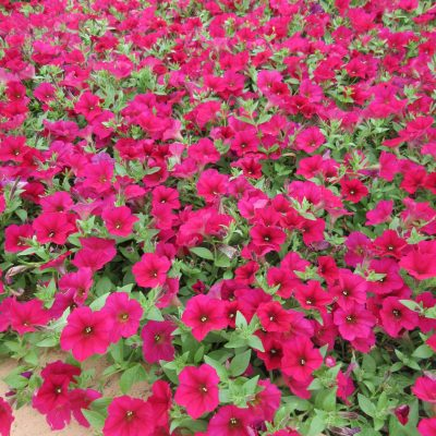 Petunia Wave® Carmine Velour - AAS Winner - Great for Hanging Baskets