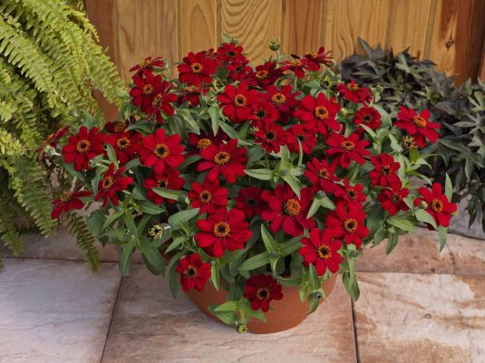 Zinnia Profusion Red - 2017 Flower Winner