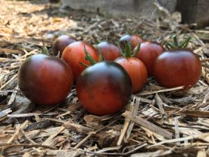 Midnight Snack Tomatoes - AAS Winner -An indigo-type cherry tomato, Midnight Snack has unique glossy red-purple fruits perfect for snacking. The plants are indeterminate and should be staked or caged.