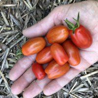 Valentines Tomatoes - AAS WInner
