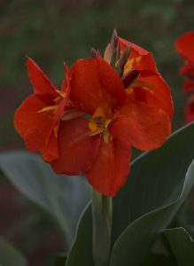 Canna South Pacific Scarlet - AAS Flower Winner