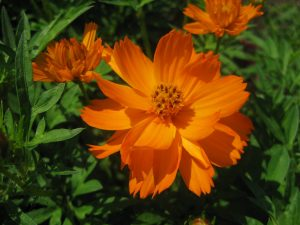 Cosmos Cosmic Orange - AAS WInner