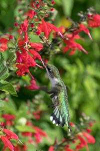 Hummingbird and bee feeding from a red salvia - All-America Selections