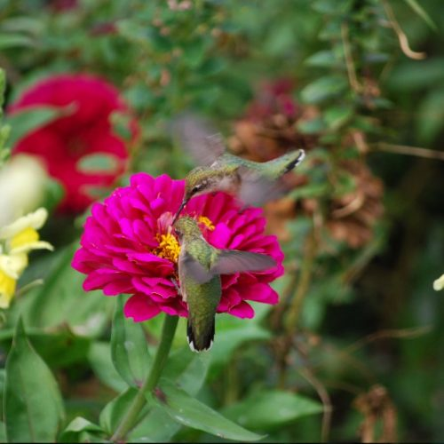 Hummingbirds on a Zinnia - All-America Selections