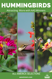 Tips on how to attract Hummingbirds to your Garden with AAS WInners - All-America Selections