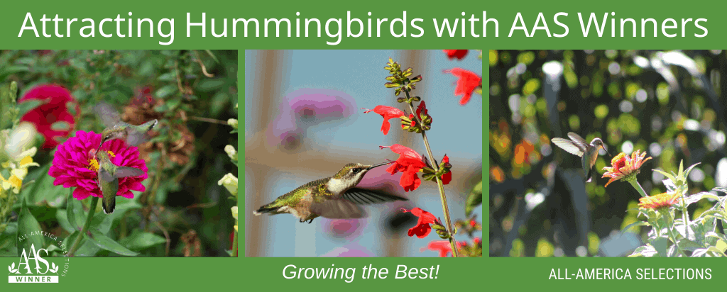 Attracting Hummingbirds with AAS Winners - All-America Selections