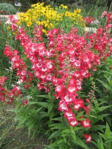 Pensetemon Arabesque™ Red - AAS Flower Winner