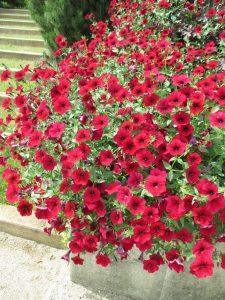 Petunia Tidal Wave Red Velour - AAS Flower Winner