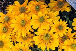 Rudbeckia Amarillo Gold - AAS Flower Winner
