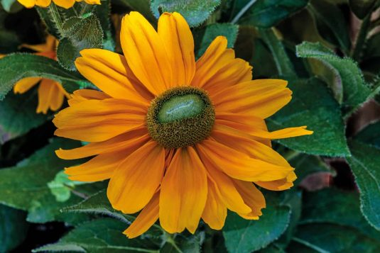 Rudbeckia Amarillo Gold - AAS Flower Winner