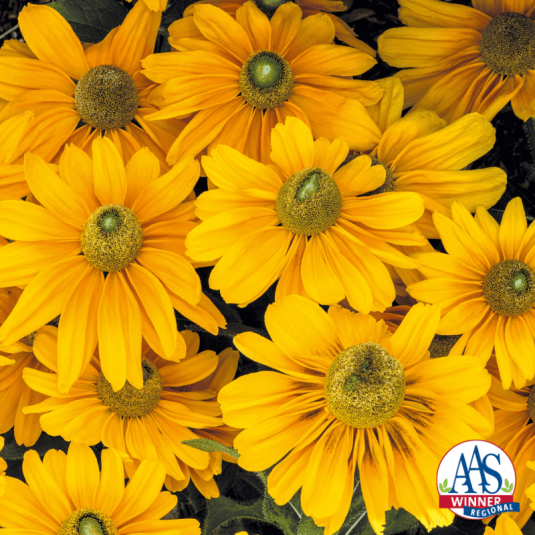 Rudbeckia Amarillo Gold Flowers - AAS Flower Winner