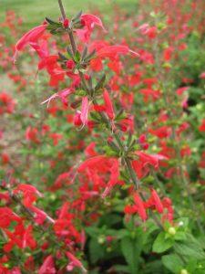 Salvia Summer Jewel Red - AAS Flower Winner