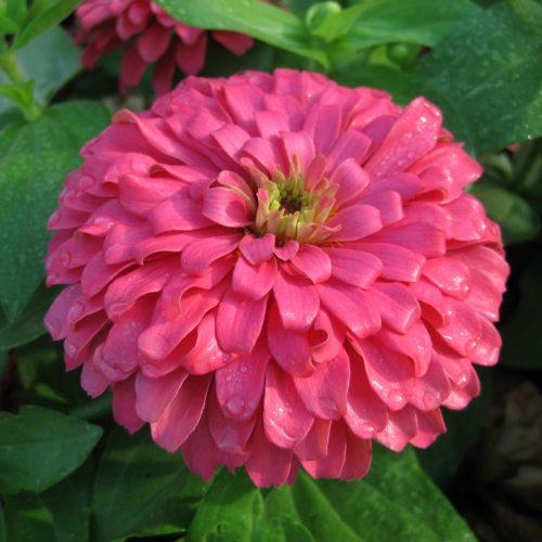 Zinnia Magellan Coral - AAS Flower Winner