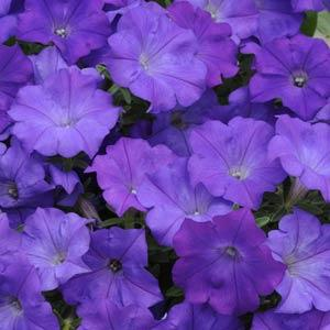 Demin Shock Wave Petunia - great for hanging baskets