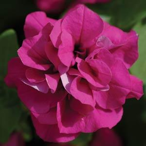 Double Wave Purple - Frilly petals and flowers make outstanding baskets and mixed decorative planters.