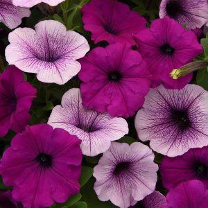 Easy Wave Petunias - Mounded flowers blook freely all season. Tolerates both hot and cool weather.