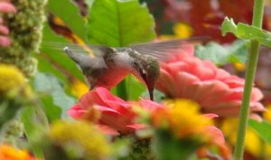 Hummingbird drinking from a Zinnia - All-America Selections