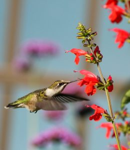 Hummingbird taking a drink from a Red Salvia - All-America Selections