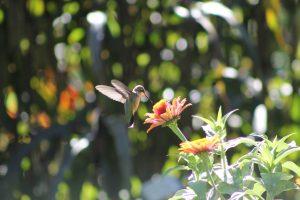 Hummingbird on a Zinnia - All-America Selections