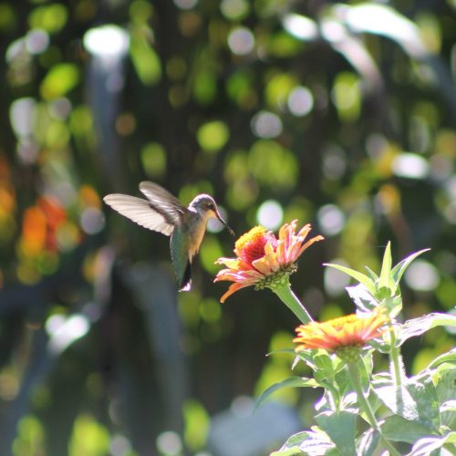 Hummingbird on a Zinnia - All-America Selections