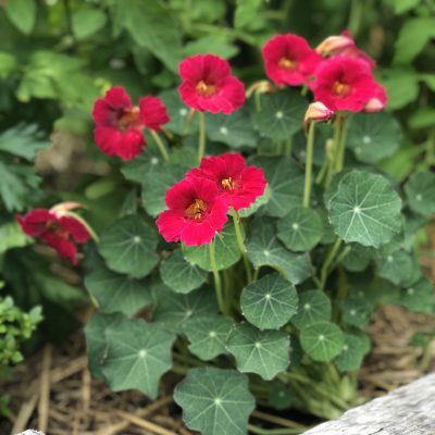 Nasturtium Baby Rose - All-America Selections Flower Winner is excellent in a Raised Bed
