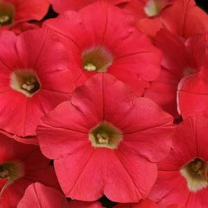 """Shock Wave Petunias - Colorful, petite flowers for small spaces. Use in hanging basked and mix in containers. 6-8"""" high by 24-30"""" across."""