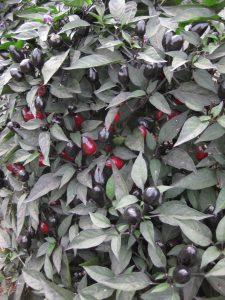 Ornamental Pepper Black Olive - All-America Selection Winner