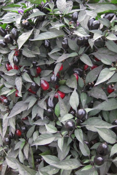 Ornamental Pepper Black Olive - All-America Selection Winner