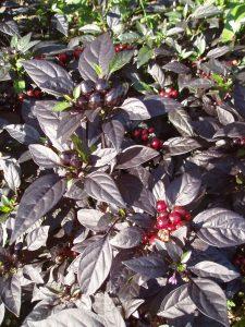 Ornamental Pepper Black Pearl - All-America Selections Winner