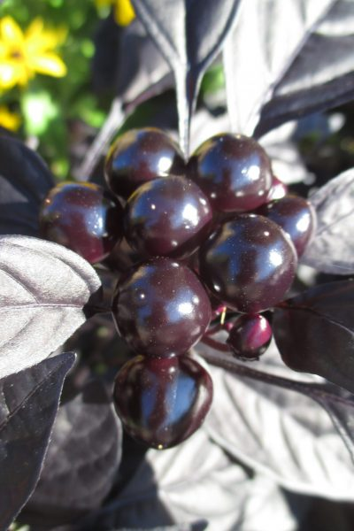 Ornamental Pepper Black Pearl - All-America Selections Winner