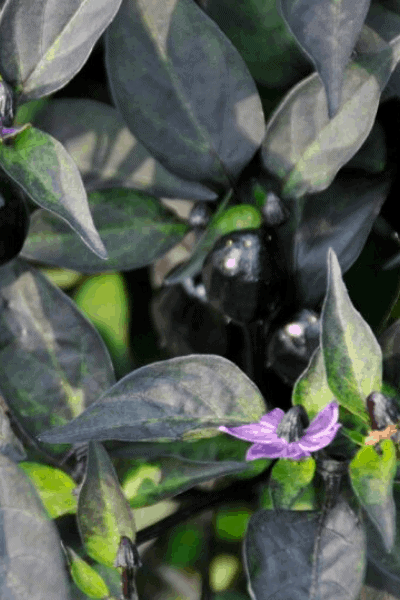 Ornamental Pepper Black Hawk - All-America Selections Winner