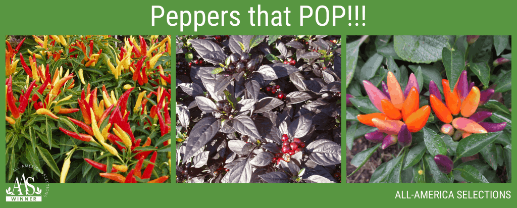 Ornamental Peppers from AAS - Grow something new! - All-America Selections Winner
