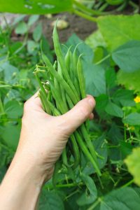 Homegrown vegetables in two months or less - AAS Winner Mascotte Beans mature in 50 days from seeds