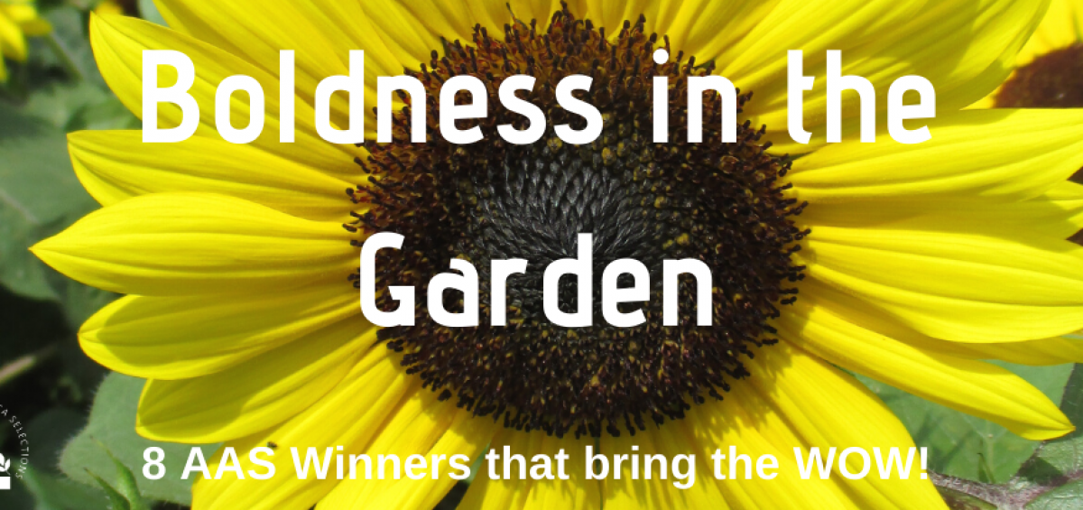 Boldness in the Garden - 8 All-America Selections Winners (AAS) to make a bold garden statement - interesting foliage, bright flowers in containers or group together helps bring a WOW!