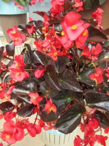 Begonia Viking™ XL Red on Chocolate This all-weather begonia features a profusion of red blooms over glossy, chocolate-colored foliage. This color combination is intensely bold. - All-America Selections Winner