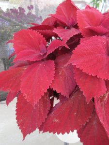 """Coleus Main Street Beale Street The first coleus to win the AAS Award, this variety has """"raised the bar"""" for luscious and bold red coloration on a bushy and uniform plant. All-America Selections Winner"""