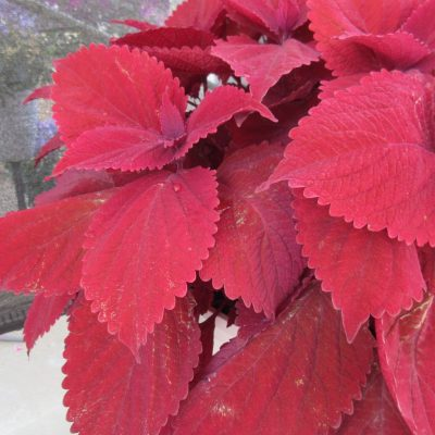 "Coleus Main Street Beale Street The first coleus to win the AAS Award, this variety has ""raised the bar"" for luscious and bold red coloration on a bushy and uniform plant. All-America Selections Winner"