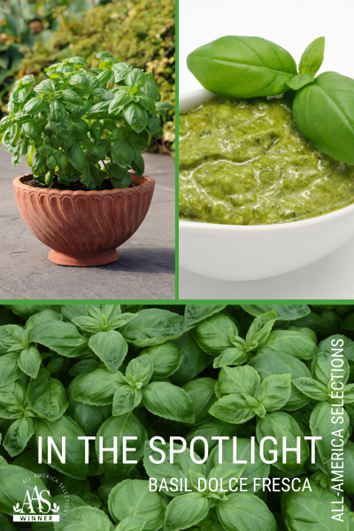 In The Spotlight with Basil Dolce Fresca, a tasty edible-ornamental AAS Winner