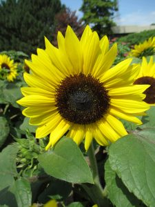 "Sunflower Suntastic Yellow with Black Center This dwarf (to 20""), well-branched selection is a bold component for the container or garden bed. All-America Selections Winner"