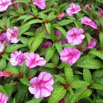 Impatiens Bounce™ Pink Flame PPAF 'Balboufink' These New Guinea type impatiens are downy mildew resistant, heat tolerant, and low maintenance. All-America Selections Winner